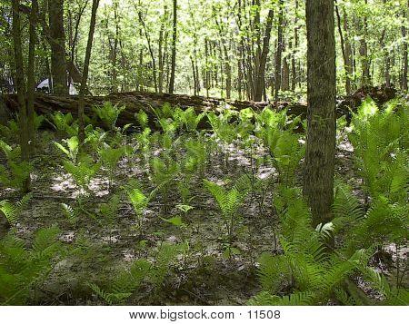 Ferns In Sunlight