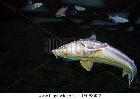 Sturgeon fish underwater