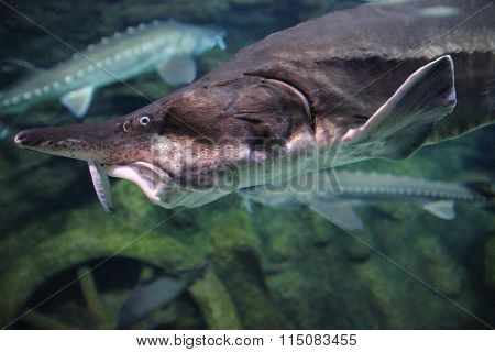 Sturgeon fish close-up