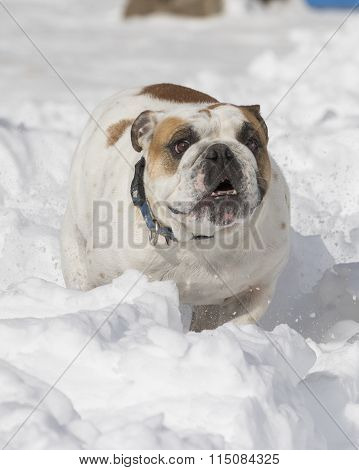 Bulldog in the snow