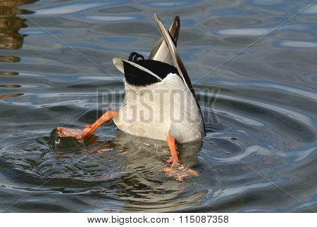 Diving Mallard Duck drake