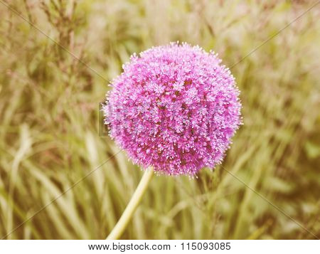 Retro Looking Purple Allium Flower