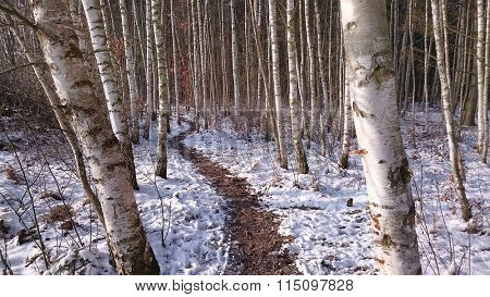 Scenery from winter Birch forest. Betula pendula (Silver Birch). Panoramic view of snowy landscape.