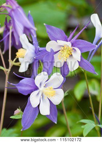 Aquilegia Columbine Magpie flowers.