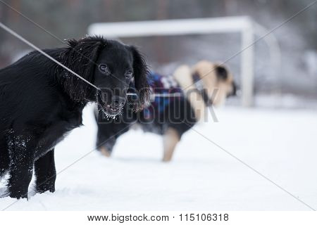 Black Spaniel Chews Leash That Is Bound To Pug.