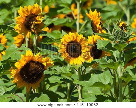 Common Sunflowers in the field.