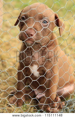 American Pit Bull Terrier Puppy