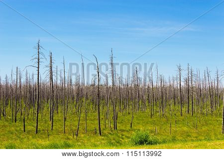 dry dead forest