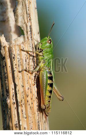 Grasshopper (Omocestus Viridulus)