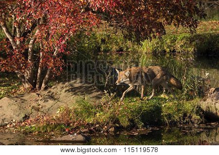 Coyote (canis Latrans) Trots Left Along Shore