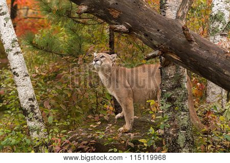 Adult Male Cougar (puma Concolor) Looks Up