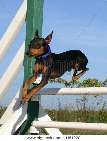 Jumping Pinsher