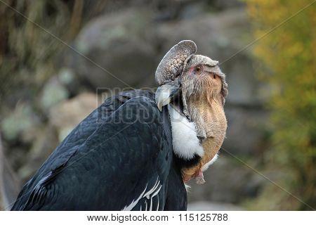 Andean Condor Sitting