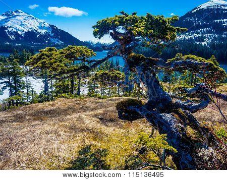 Windswept natural bonsai spruce in Prince William Sound Alaska