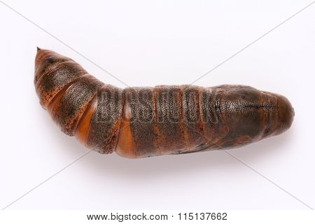 Moth Pupa On White Background