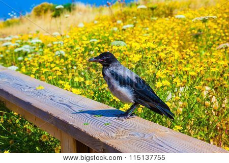 Wooden walkway with handrails among flowering meadows. Raven sitting on railing