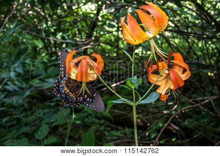 Butterfly Underneath Tiger Lily