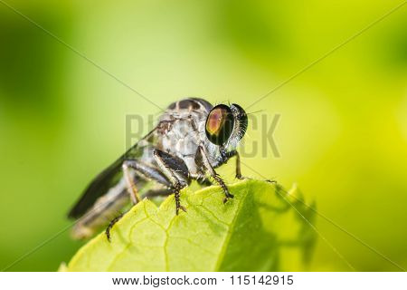 Robber Fly On Green Leaf