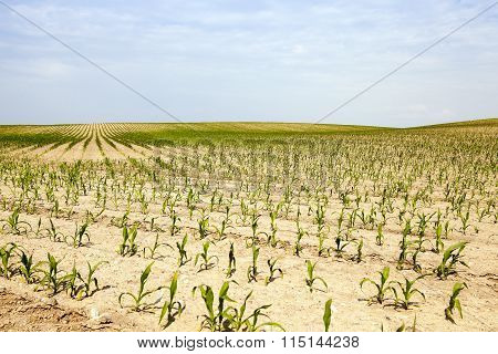 corn . Agricultural field