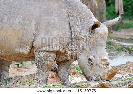 White Rhinoceros, Ceratotherium Simum Eating Grass At The Zoo
