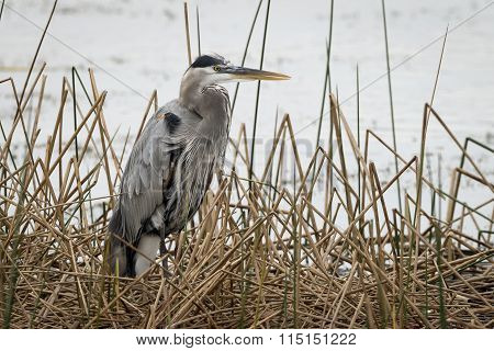 Great Blue Heron In Cattails - Florida
