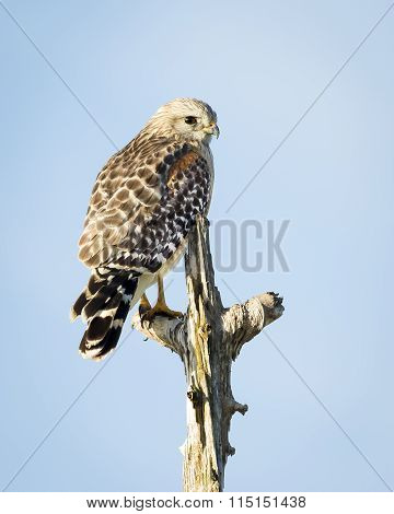 A Red-shouldered Hawk Perched In A Dead Tree
