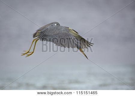 Tricolored Heron Hovering In Search Of A Fish