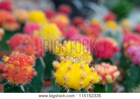 Cactus In Garden