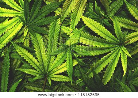 Cannabis Texture Marijuana Leaf Pile Background with Flat Vintage Style