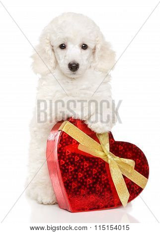 Poodle Puppy With Valentine Heart