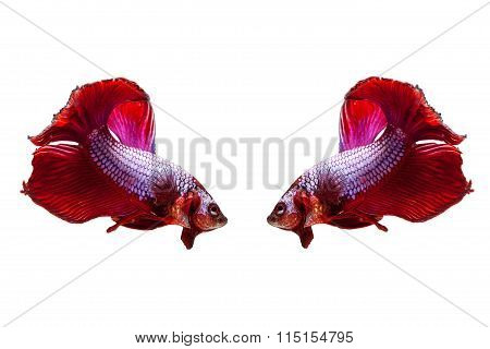 Red Siamese Fighting Fish On A White Background.