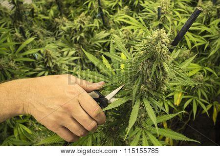 Man with Scissors Trimming Marijuana Plant
