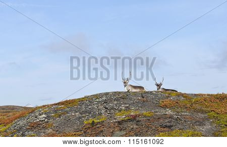 A few reindeer on a mountain slope.