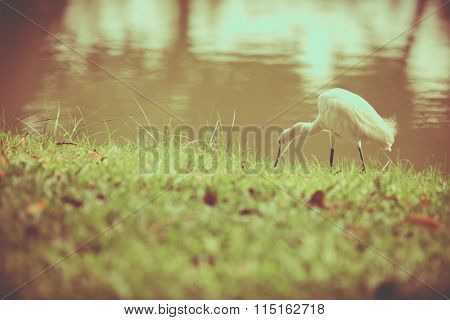 Animals In Wildlife - White Egrets. Vintage Picture Style. Outdoors.