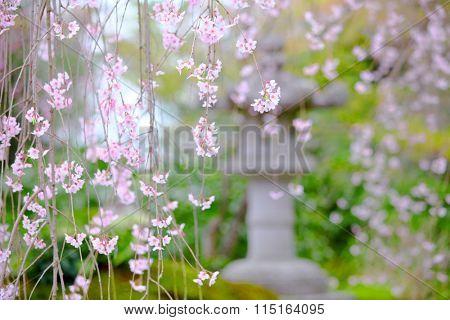 Weeping sakura garden view