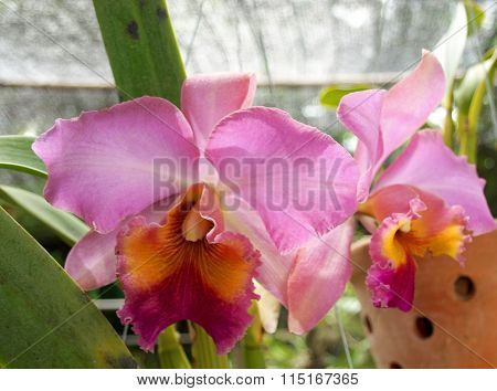Thai Orchid Flower