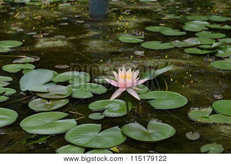 Elegant and delightful lotus