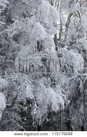 Birch branches under snow.