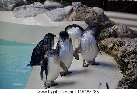 Penguin Island: Little Blue Penguins