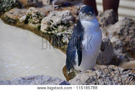 Little Blue Penguin