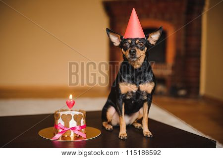 Toy Terrier In Birthday Hat With Dog Cake