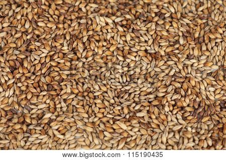 malt grains closeup