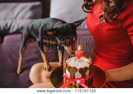 Toy Terrier Dog Eating Cake With Candle From Womans Hands