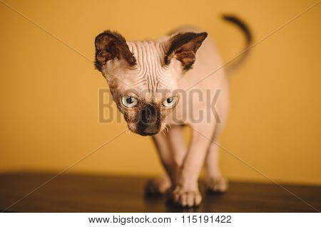 Hairless Sphynx Or Sphinx Baby Cat Kitten