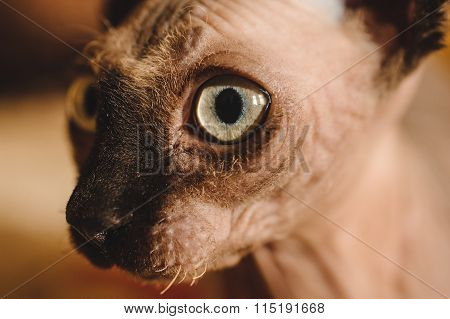 Close Up Of Hairless Sphynx Or Sphinx Baby Cat Kitten