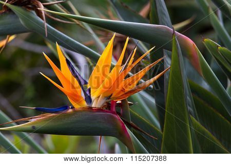 Blooming flower of tropical Strelitzia reginae. Bird of paradise ** Note: Soft Focus at 100%, best at smaller sizes