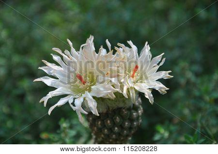 cactus Neochilenia glabrescens