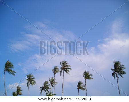 Coconut Trees With Copyspace