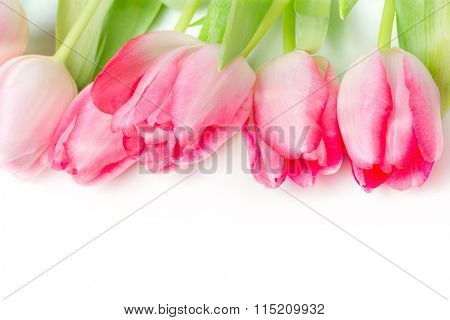 Spring flower pink tulips bouquet on white background.