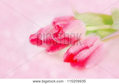Spring flower pink tulips bouquet on pink background.